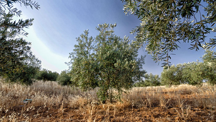 Sleeping in an Olive Grove